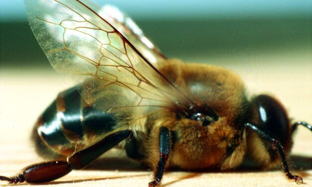 Na kaj moramo biti pozorni pri nakupu Kranjske čebele