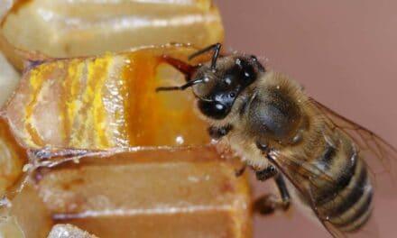 Ko čebela piči